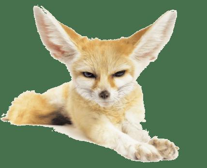*Фенек – миниатюрный хищник своеобразной внешности и повадок.