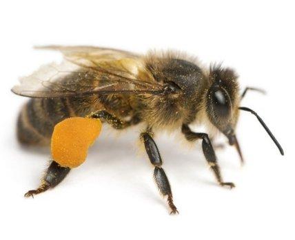 Пчелиный яд в мазях, бальзамах и гелях: применение «по науке»