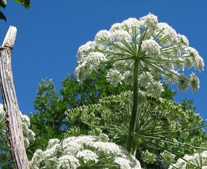 Борщевик и растения-фотосенсибилизаторы: и яд, и лекарство